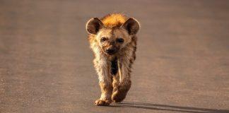 Hyena - Obboy Media